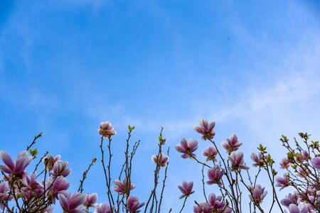 Magnolia pink blossom tree flowers, branches on a blue sky background, outdoor.