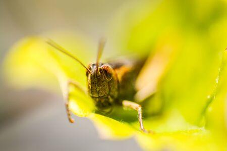 Grasshopper sitting on a leaf, Green background. Standard-Bild