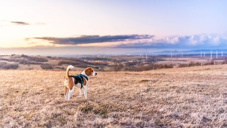 Beagle dog in the fields during sunset. Colorful landscape snowless winter in Europe
