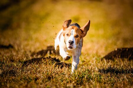 Dirty Dog Beagle running fast and jumping with tongue out through field in a spring. Pet background