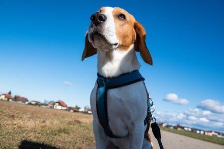 Beagle dog on rural road. Sunny day landscape copy space . With dog on a walk. Reklamní fotografie
