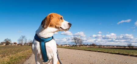 Beagle dog on rural road. Sunny day landscape copy space . With dog on a walk. 스톡 콘텐츠