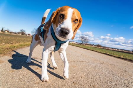 Beagle dog on rural road. Sunny day landscape copy space . With dog on a walk. Stockfoto