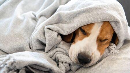 Dog on a sofa under the blanket after bath drying fur. Dog Hygiene concept.