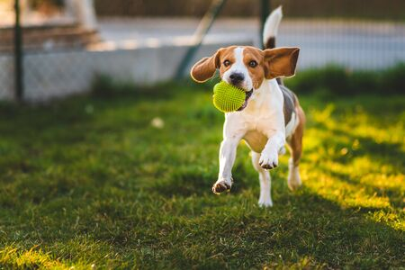 Beagle dog runs in garden towards the camera with green ball. Sunny day dog fetching a toy. Copy space. Stock Photo