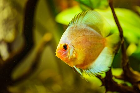 Portrait of a yellow tropical Symphysodon discus fish in a fishtank.