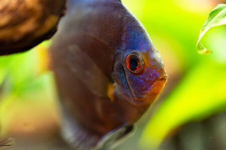 Portrait of a blue tropical Symphysodon discus fish in a fishtank. Stock Photo