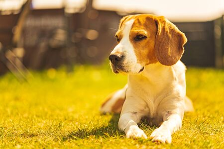 Dog lieing on grass in backyard on sunny spring day. Beagle dog background