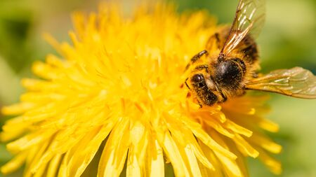 Honey bee covered in pollen collecting nectar from dandelion flower in the spring time. Useful photo for design or web banner.