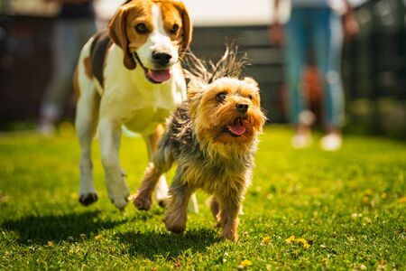 Cute Yorkshire Terrier dog and beagle dog chese each other in backyard. Running and jumping with toy towards camera.