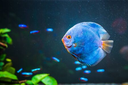 Blue fish from the spieces Symphysodon discus in aquarium. Freshwater aquaria concept. Copy space Фото со стока