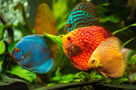 Colorful fish from the spieces Symphysodon discus in aquarium. Freshwater aquaria concept Фото со стока