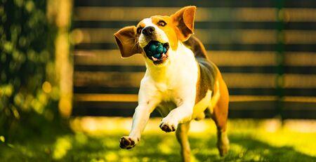 Beautifull three color Beagle dog fun in garden outdoors run and jump with ball towards camera