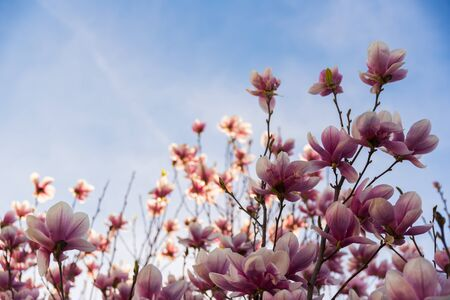 Pink magnolia flower on a tree abainst blue sky background