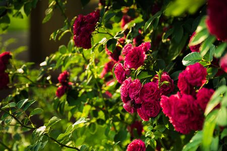 Beautiful rose bush against green garden background