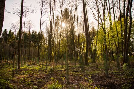 Newly planted trees in a row in forest