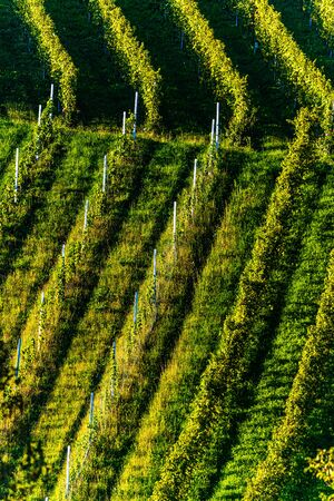 Rows Of Vineyard Grape Vines. Autumn Landscape With Colorful Vineyards. Grape Vineyards Of Austria south Styria. Abstract Background Of Autumn Vineyards Rows.