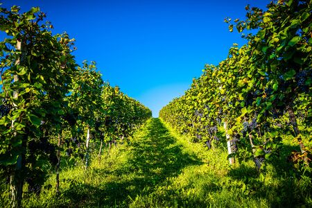Redgrapes on vineyard over bright green background. Grape plant rows on vineyard. Austria, Styria