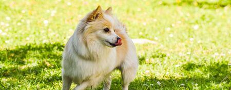 German Spitz dog portrait. Pomeranian dog outdoors on sunny day. Stock Photo