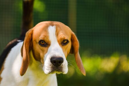 Adorable beagle dog on green background outdoors. Stock Photo