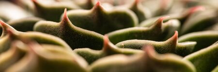 Abstract close-up of the colorful the Echeveria Capri. Abstract selective focus macro background