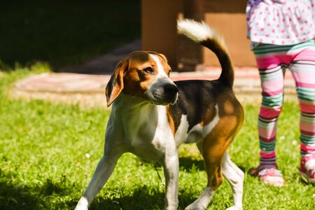Beagle dog active lawn with child