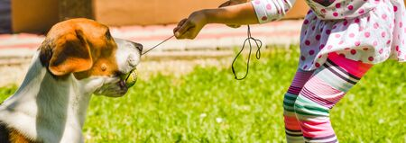 Happy girl playing with beagle dog active tug of war on lawn. Stock Photo