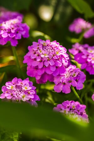 Purple flowers with green leaves in sunny spring day