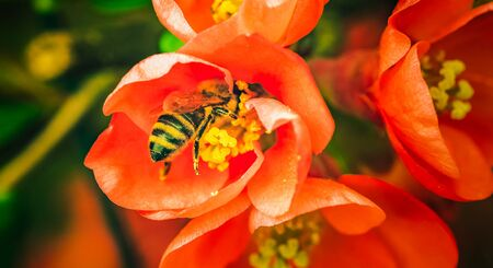 Honey bee collecting nectar from red flower. Important for environment ecology sustainability. Copy space Фото со стока