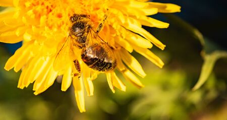 Honey bee covered with yellow pollen collecting nectar from dandelion flower. Important for environment ecology sustainability. Copy space