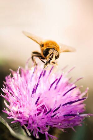 Small wasp familly insect on a purple flower collecting pollen. Vertical background