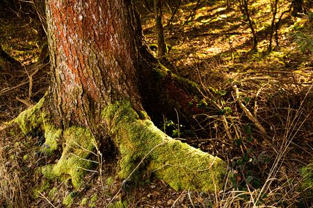 Roots of a tree in the forest covered with moss. Copy space background