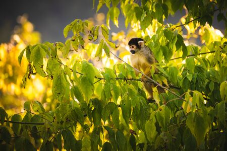 Black-capped squirrel monkey on a tree in Stubenberg tierpark. Styria tourist spot and family place.