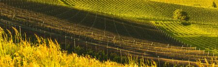 A Beautiful vineyards crops at spring in Austria. Famous place for their white wine. Vineyard themed background Stock Photo