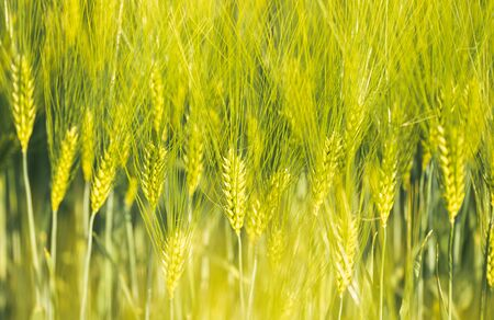 Green wheat on the field in spring. Selective focus, shallow DOF background. Pubescent rye agriculture concept