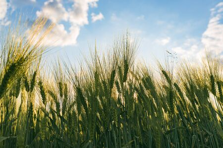 Green wheat on the field in spring. Selective focus, shallow DOF background. Pubescent back lit rye agriculture concept