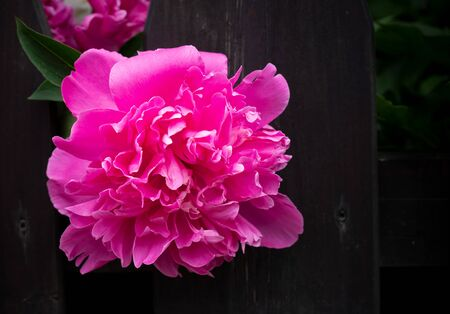 Dark pink peony flower head in garden, natural light. Floral background