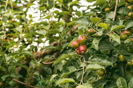 Young red apples growing in spring on a branch with green leaves. Apple court concept.