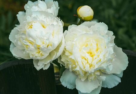 White peony flower head in garden with yellow accent. Floral theme