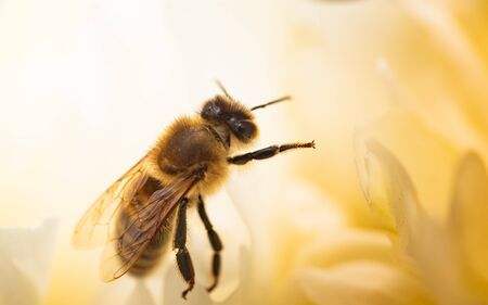 Honey Bee on bright White Yellow Peony Flower, Close Up of bee at work polinating the flower. Nature ecosystem concept