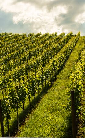 Beautiful green rows of grape plants in summer in Austria. South styria grape plantations on vineyards. Stok Fotoğraf
