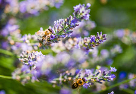 European honey bee, Apis mellifera on a lavender flower pollinating. Selective focus