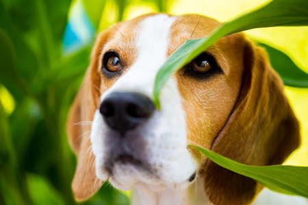 Portrait of Beagle dog between green leaves outdoors. Canine theme Фото со стока