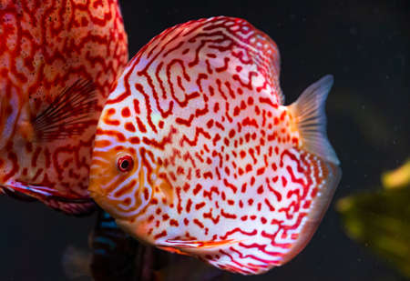 Closeup of a checkerboard red tropical Symphysodon discus fish in fishtank