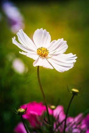 White flower Cosmos bipinnatus, Apollo White against green background. Summer flowers in garden. Vertical photo