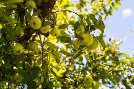 Green apples on a branch growing, outdoors, selective focus