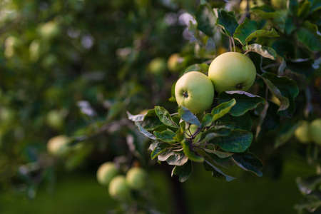 Young green apples growing on a tree. Copy space on left