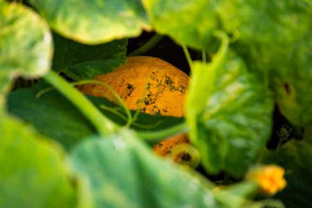 Pumpkin field in Austria in summer. Agriculture theme