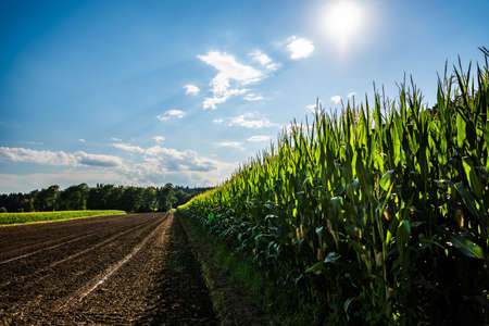Rows of maize in rural area against blue sky in summer. Agriculture background Foto de archivo