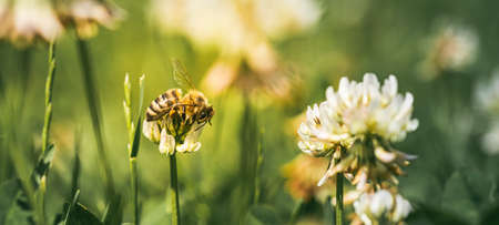 Close up of honey bee on the clover flower in the green field. Green background.